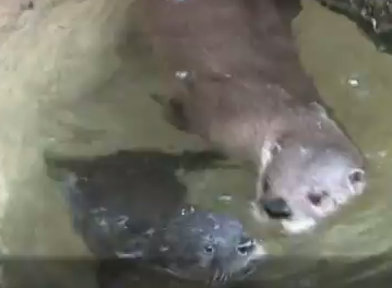 Cute of the Day: Otter Mom Teaching Pups to Swim