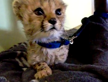 Cute of the Day: Baby Cheetah Chirping