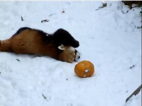 Cute of the Day: Red Panda Playing with Pumpkin