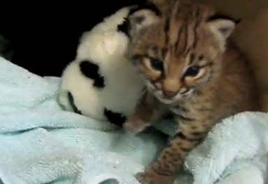 Cute of the Day: Baby Bobcat and Stuffed Animal