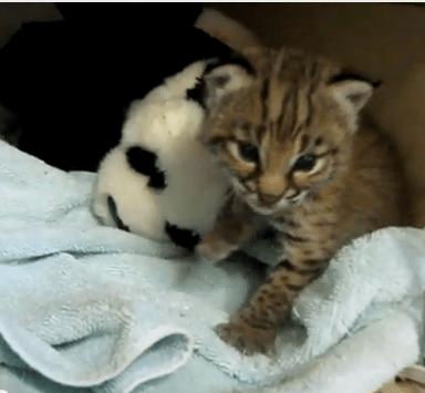 Cute baby bobcat - photo#20