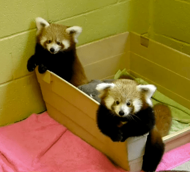 Cute Of The Day Baby Red Pandas The World Of Nardio
