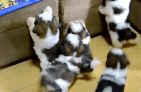 Cute of the Day: Shih Tzu Puppies After First Bath