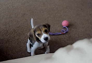 Cute of the Day: Baby Beagle Head Tilt