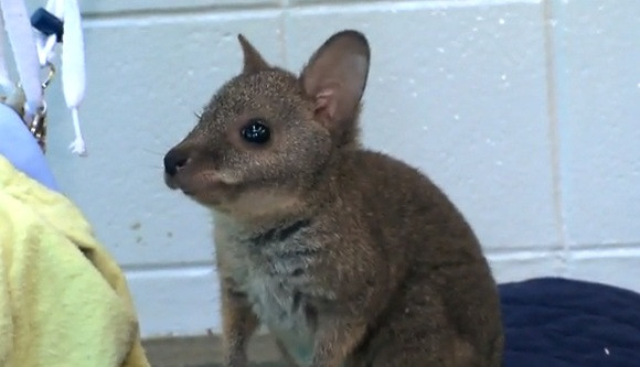 Cute of the Day: Baby Wallaby
