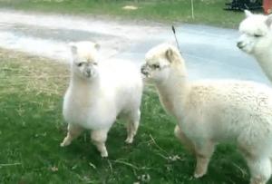 Alpaca Leap