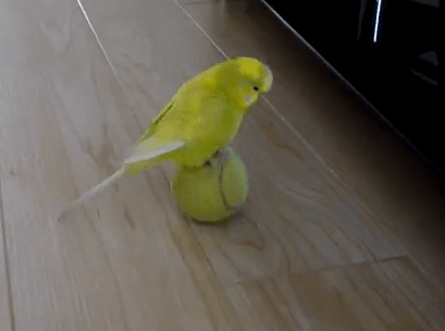 Cute of the Day: Budgie Balancing on Ball