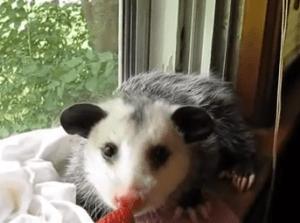 Opossum eating strawberrya