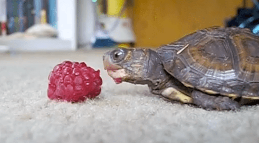 Cute of the Day: Baby Turtle Eating Raspberry