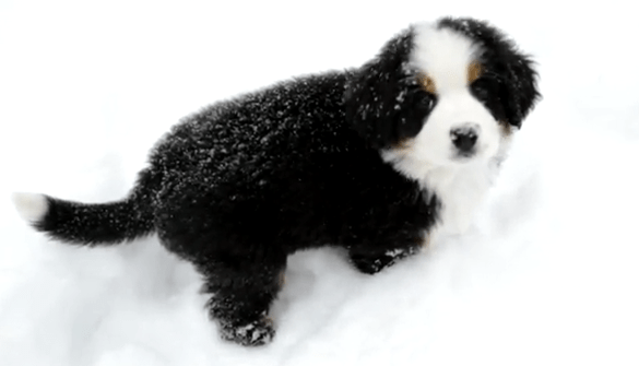 Cute Of The Day Burmese Mountain Dog In Snow The World