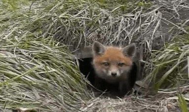 Cute of the Day: Baby Fox