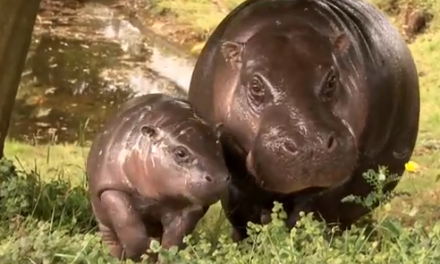 Cute of the Day: Baby Pygmy Hippo and Mama