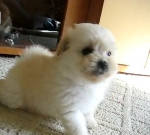 poodle pomeranian puppy