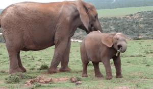 Baby Elephant Sneeze