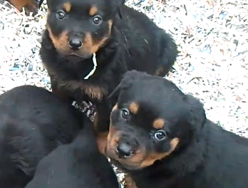 Cute of the Day: Rottweiler Puppies