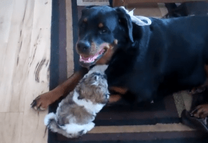 Shih Tzu and Rottweiler