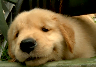 Cute of the Day: Happy Golden Retriever Puppies