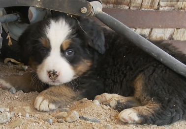 Cute of the Day: 2 Minutes of Burmese Mountain Puppy Cuteness