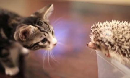 Cute of the Day: Kitten Meets Hedgehog