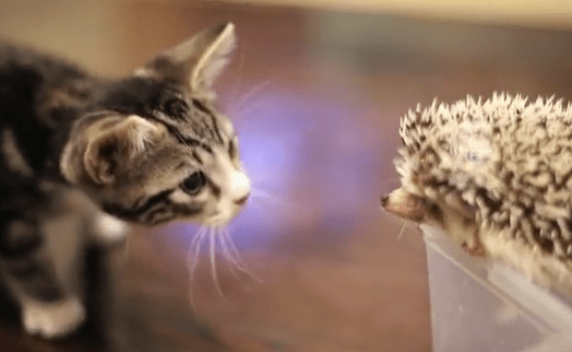The Best Cat Food For Hedgehogs