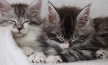 Cute of the Day: Maine Coone Kittens
