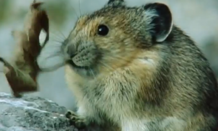 Cute of the Day: Pika Chewing on Leaf