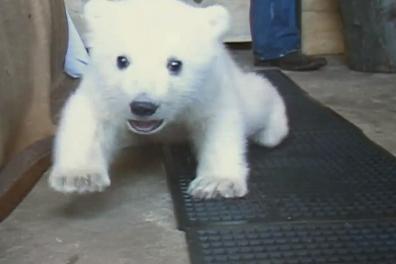 Cute of the Day: Baby Polar Bear Walking