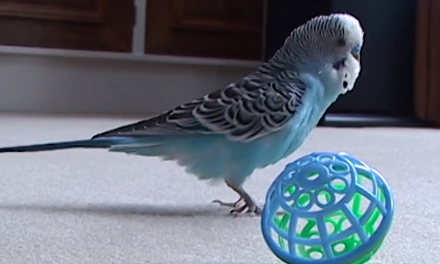 Cute of the Day: Budgie Throwing a Ball