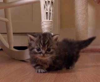 Cute of the Day: Munchkin Kittens