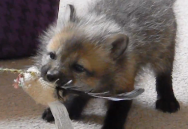 Cute of the Day: Baby Red Fox Playing