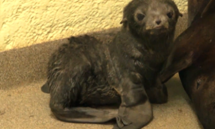 Cute of the Day: Fuzzy Northern Fur Seal Pup
