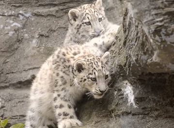 Cute of the Day: Snow Leopard Cubs Playing