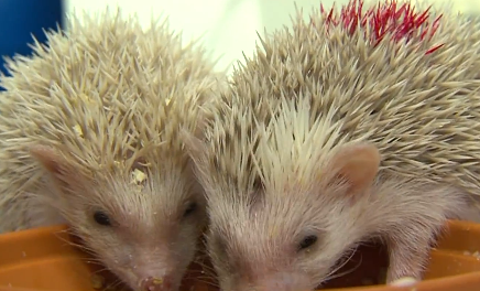 Cute of the Day: Baby Hedgehogs