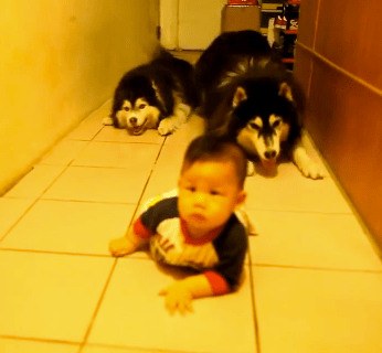 Cute of the Day: Crawling Race Between Huskies and Baby
