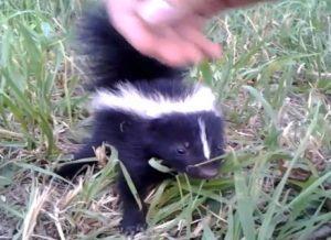 Friendly Baby Skunk