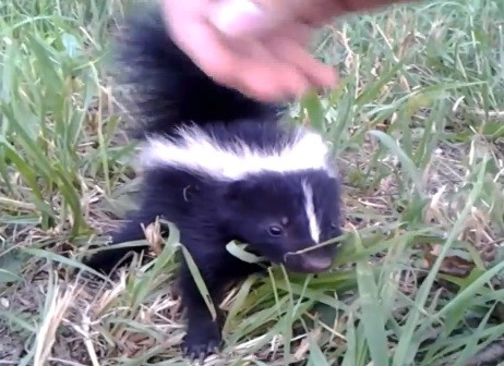 Friendly Baby Skunk