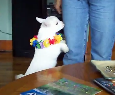 Cute of the Day: Playful Baby Goat