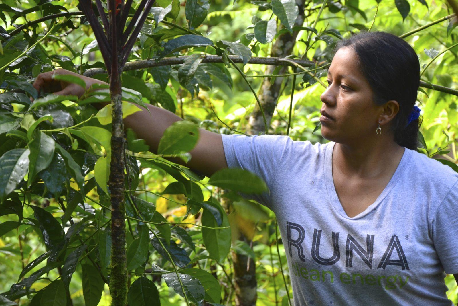 Guayusa Farm