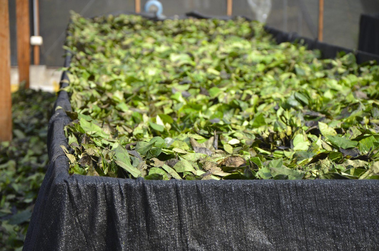 Guayusa Leaves
