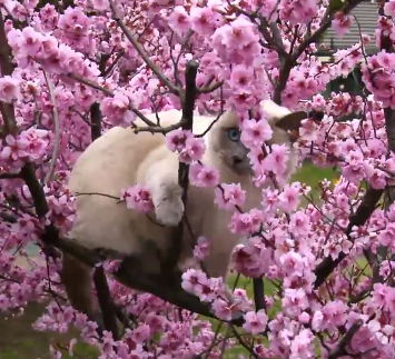 Cute of the Day: Ragdoll Cat Stuck in a Tree
