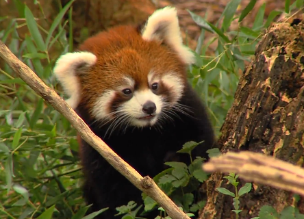 Cute of the Day: Red Panda Cub Playing