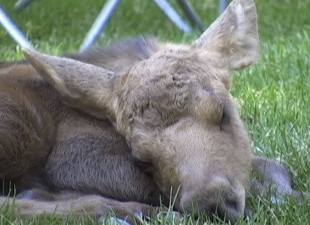 Cute of the Day: Baby Moose Twins