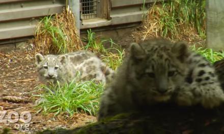 Caturday: Snow Leopard Kittens