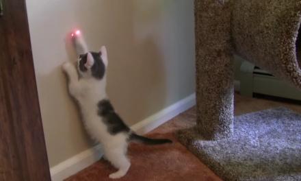 Kitten versus laser round 9,485,672,912,586,586