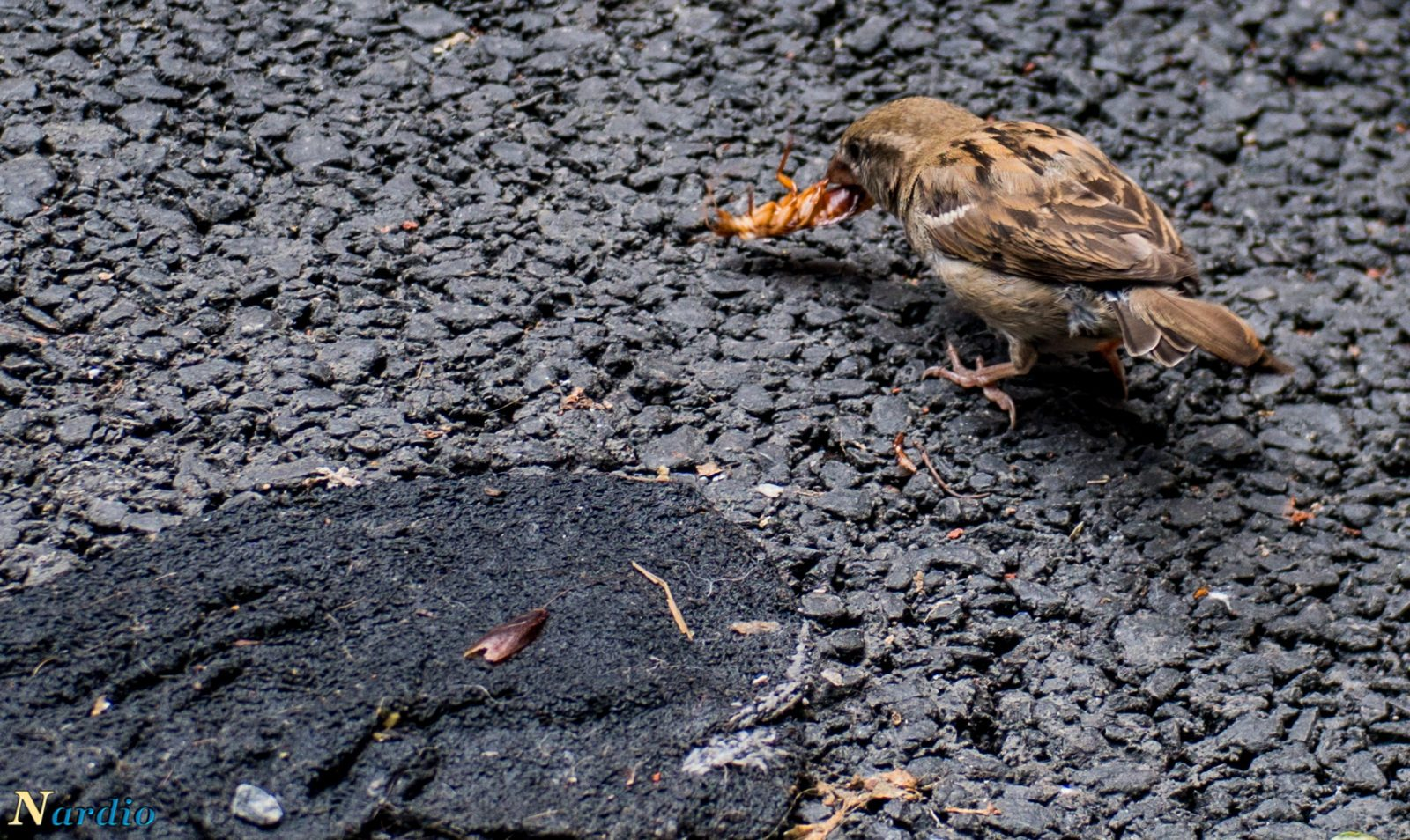 Nardio Picture of the day Nature In NYC- The Sparrow and the Roach Main