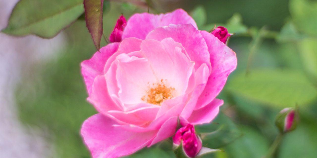 Bokeh Debauchery: The Painted Rose