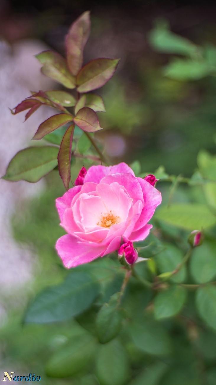 The Painted Rose by Bernardo Español