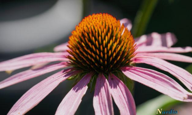 Monday Macro: Echinacea Glow