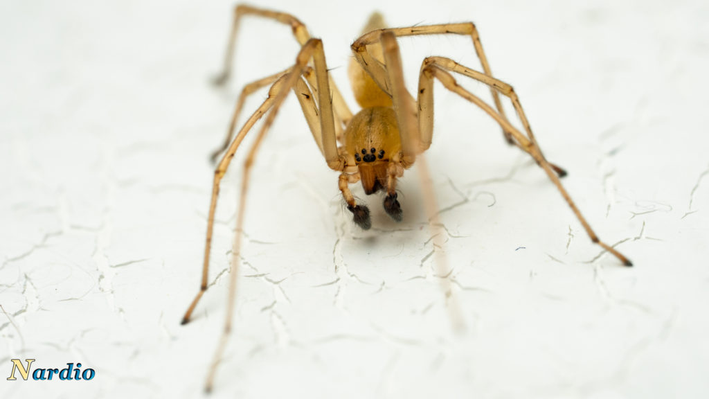 spidernardio