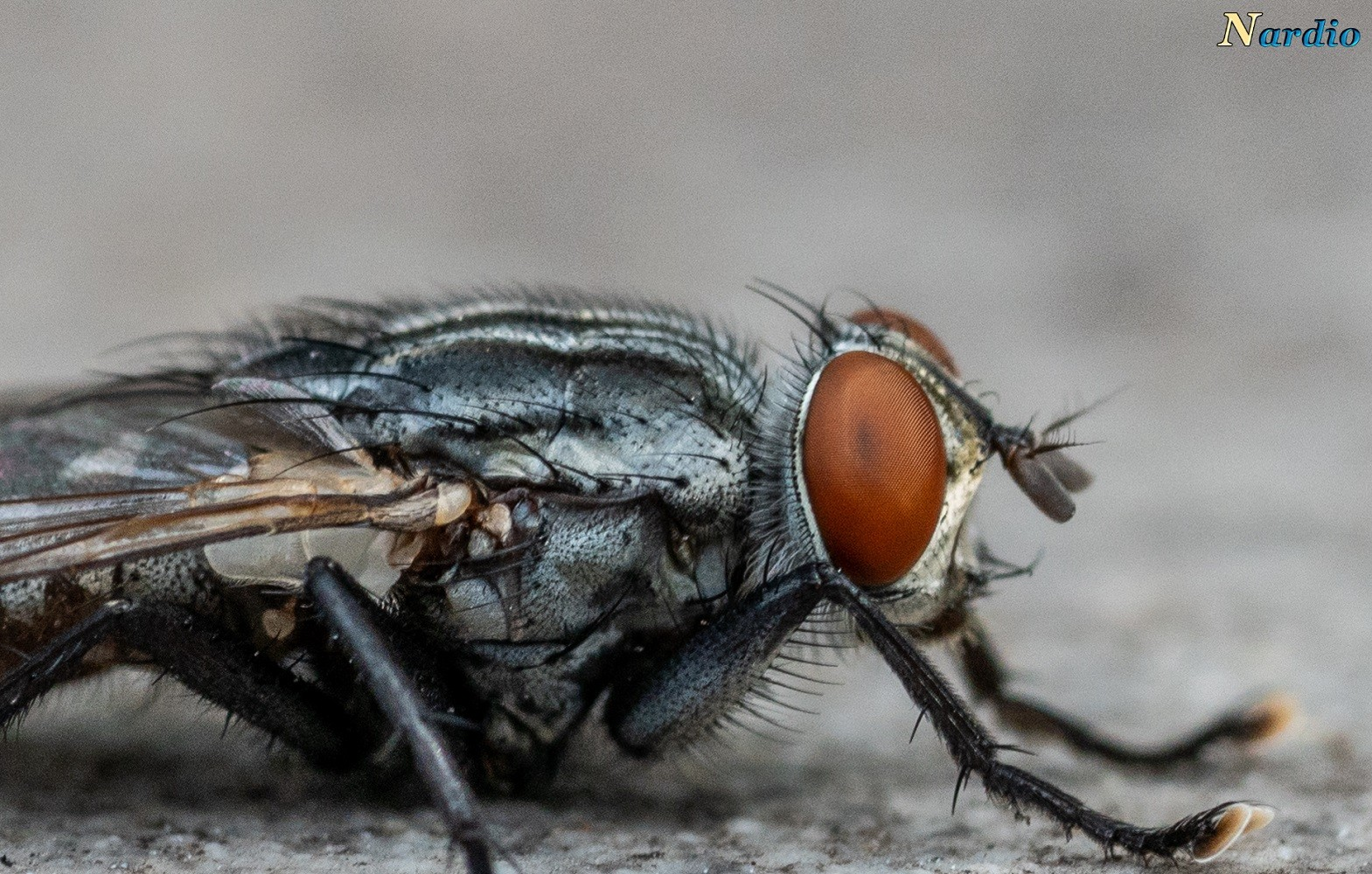 Macro Monday Flesh Fly